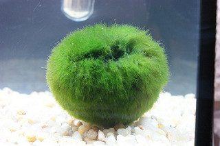 Bola de Cladophora de acuario. Para la entrada de como eliminar Cladophora con Agua oxigenada