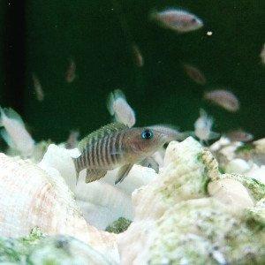 Neolamprologus multifasciatus, el ciclido conchicola del lago tanganika más pequeño