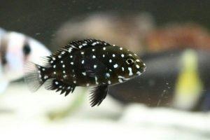 Alevin de Tropheus duboisi con su coloración negra con puntos blancos