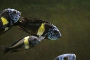 Grupo de Tropheus duboisi maswa en el acuario