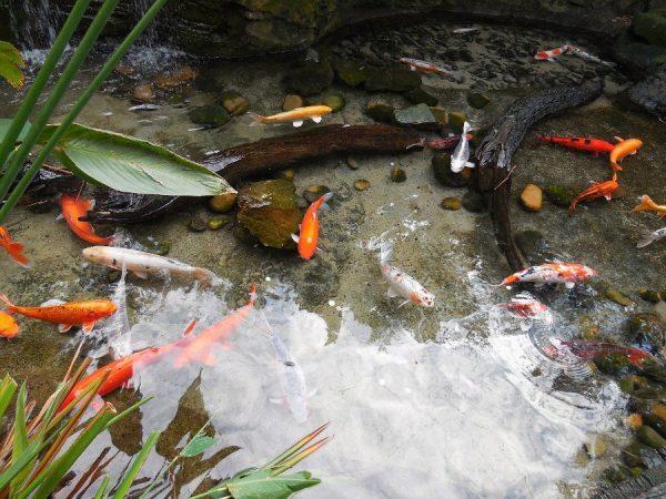 Goldfish o pez dorado en estanque
